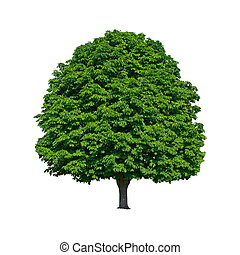 large green chestnut tree grows in isolation - a large green...