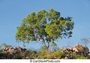 Eucalyptus tree - Australian eucalyptus tree against a blue...
