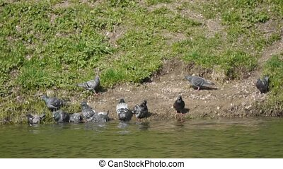 pigeons on lakeside