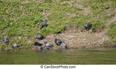 pigeons on lakeside