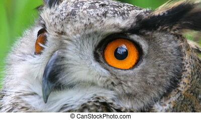 Owl, close-up