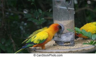 Parrots eat fruit
