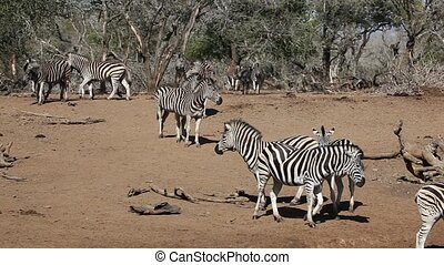 Plains Zebras - Herd of plains (Burchell%u2019s) Zebras...
