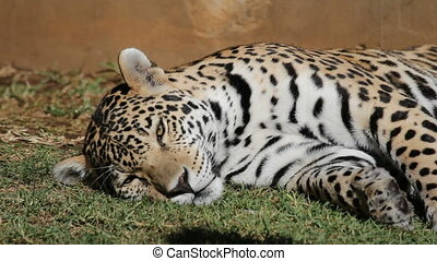Male jaguar (Panthera onca) resting on the ground