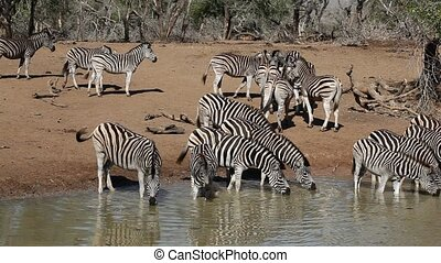 Plains Zebras drinking - Herd of plains (Burchell%u2019s)...