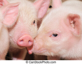 pigs - Pigs who are photographed on one of farms
