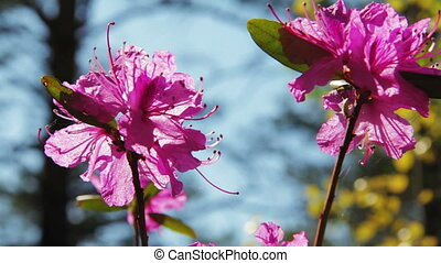 Daurian rhododendron, Labrador tea (Rhododendron dauricum) with vibrant flowers