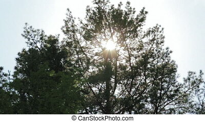 Tilt shot of trees while wind blows and sun shines