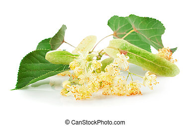 linden flowers - Branch of linden flowers isolated on white...