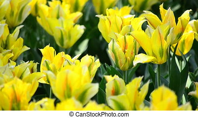The field yellow tulip