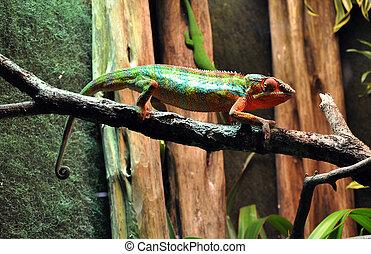 Chameleon in zoo terrarium