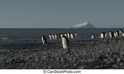 Adelie Penguin standing on a pebble beach near the ocean