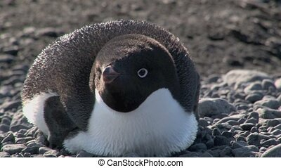 Adelie Penguin portrait resting on his belly