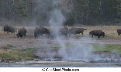 Bison herd grazing between Geysers
