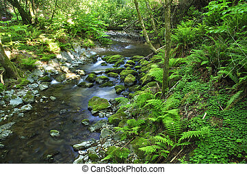 Forest stream - Beautiful quiet stream and ferns in Muir...