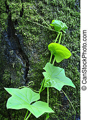 Nature's artistic design - Details of green vine climbing...