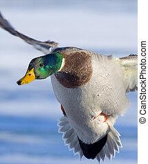 Landing Mallard Drake - Mallard Drake about to land