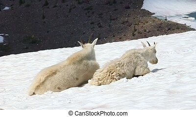 Mountain Goat (Oreamnos americanus) - Mountain Goats...