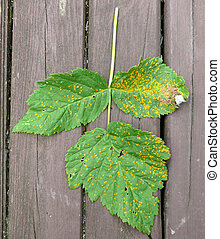 raspberry rust - fungal disease
