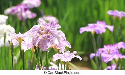 iris - I took the iris which shook for wind