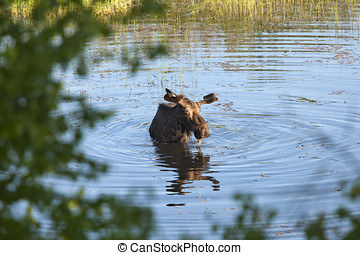 Bull moose wading in the pond. - A male moose wades into the...