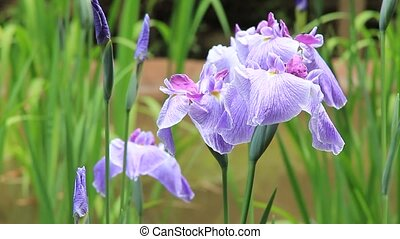 iris - I took the iris which shook for wind.