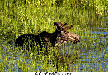 Bull moose wades in deep water - A male moose wades into the...