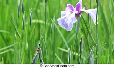 iris and dragonfly - I took an iris and a dragonfly