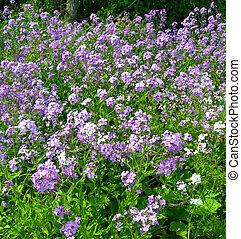Purple wildflowers on a meadow