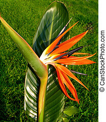 Bird of paradise flower - Bird of paradise flower,...