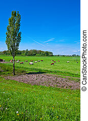 Floodplain of the Rhine - Cows Grazing in the Floodplain of...