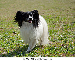 papillon dog - Beautiful papillon dog on green grass
