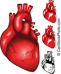 heart - Vector illustration of human heart mesh, colour and...