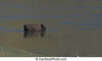Bison swimming across the river