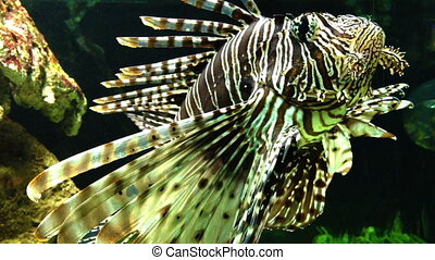 Lion fish, Reef, red Sea