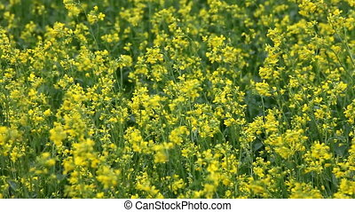 Rape field - Close view of rape flowers in meadow