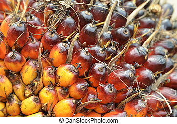 Oil Palm Fruits - Photograph of the palm oil fruit