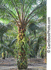 Palm Oil Plantation - Photograph of the palm oil tree