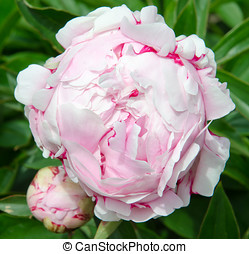 Flowering peony - Flowering white and lilac peony in de...