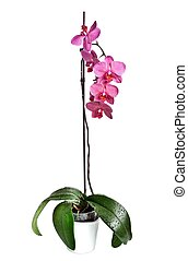 Pink Orchid - Beautiful pink Orchid, isolated on a white...