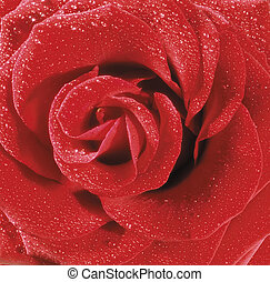 Red rose with water droplets closeup
