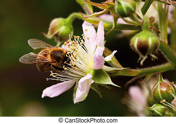 honey bee collets flower nectar, closeup of blackberry...