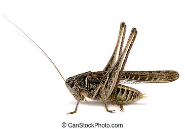 Grasshopper decticus verrucivorus isolated on white