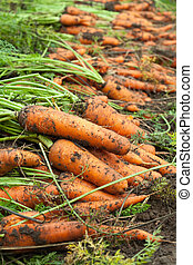 harvest of carrots