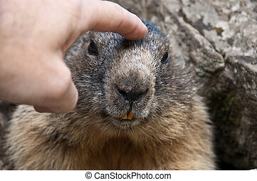 Marmot - a caress to the marmot who can be approached