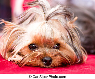 Puppy Yorkshire terrier