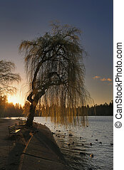 Willow Tree Sunset - Sunset behind willow tree. Stanley...