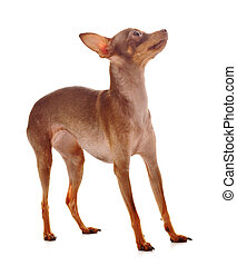 The Italian Greyhound in the game