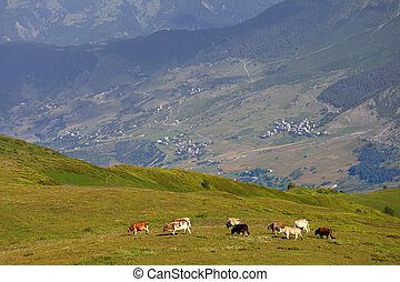 Grazing cow on green meadow in Caucasus Mountains