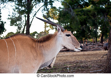 Eland Antilope . - Common eland (Taurotragus oryx) , also...